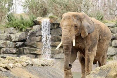 Elephant at Colchester Zoo